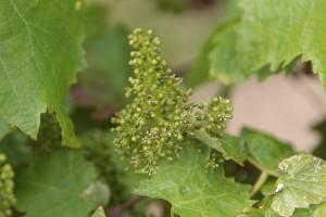 On a trouvé la Fleur de Vigne...